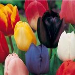 1240908893Tulipa_Triumph_Mixed_bloem